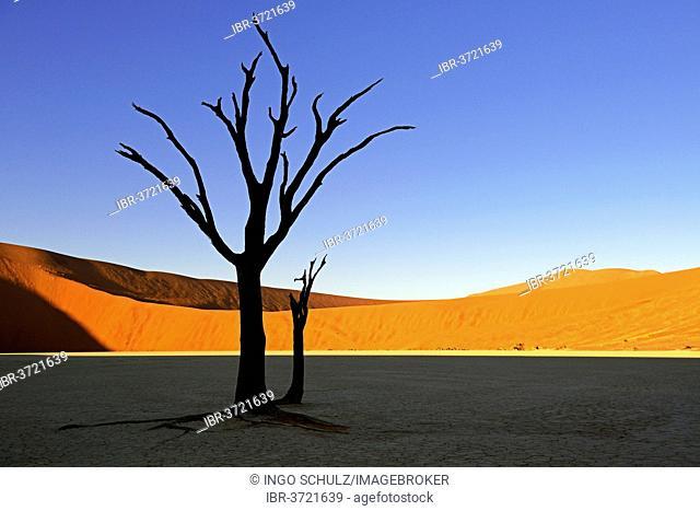 Camel thorn trees (Acacia erioloba), silhouetted in the morning light, Deadvlei, Sossusvlei, Namib-Naukluft Park, Namib Desert, Namibia
