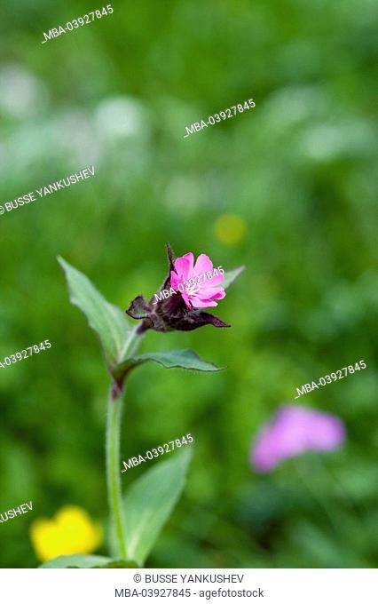 alpine flowers, forest-carnation, Silene dioeca