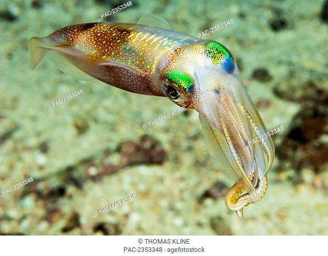 Underwater view of an oval squid (Sepioteuthis lessoniana); Maui, Hawaii, United States of America