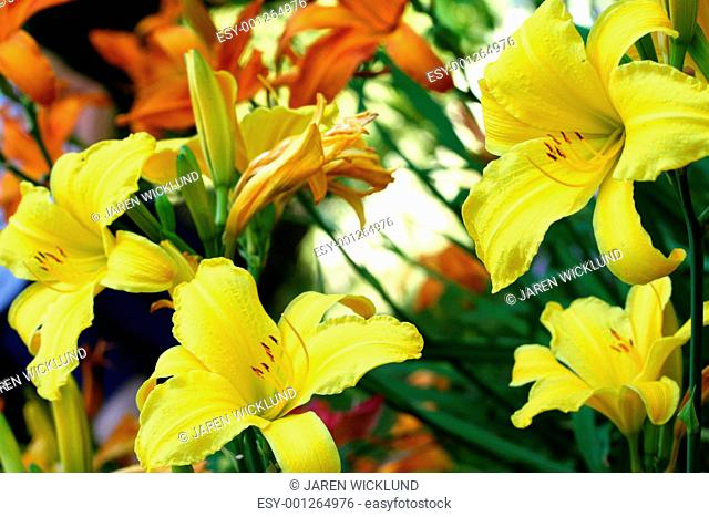 Garden filled with yellow and orange lilies