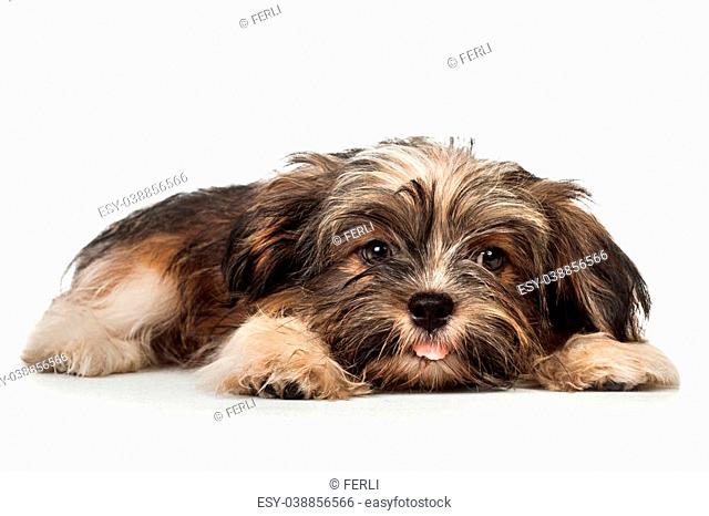 Bichon havanese puppy Stock Photos and Images | age fotostock