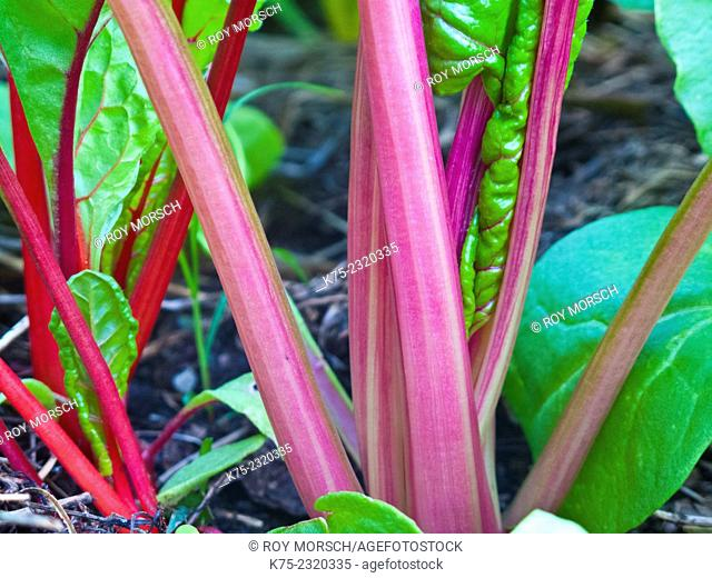 Close-up of stalks of swiss chard