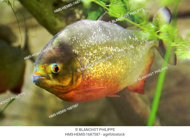 France, Herault, Montpellier, Lunaret zoological park, Amazon greenhouse, Characidae, Red-bellied piranha or Red piranha (Pygocentrus nattereri) from South...