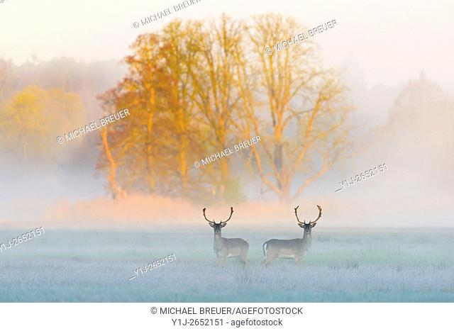 Fallow Deers (Cervus dama) on misty morning, Spring, Hesse, Germany, Europe