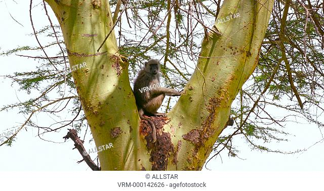 BABOON IN TREE; AMBOSELI, KENYA, AFRICA; 03/02/2016