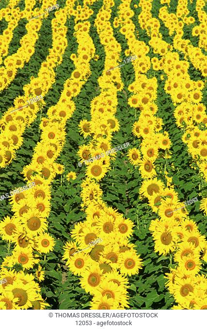 Cultivated sunflowers (Helianthus annuus)in the Campiña Cordobesa, Cordoba province, Andalucía, Spain