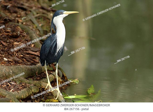 Variable Heron (Ardea picata), Queensland, Australia