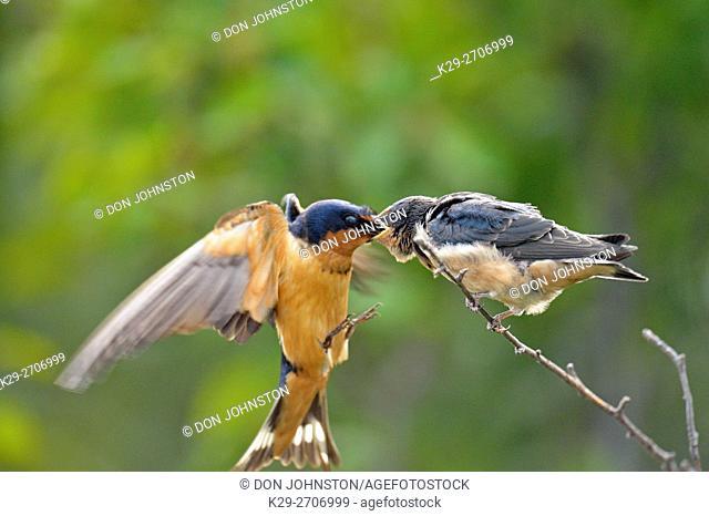Barn swallow (Hirundo rustica) Fledgling out of the nest being fed by parent bird, Buffalo Pound Provincial Park, Saskatchewan, Canada