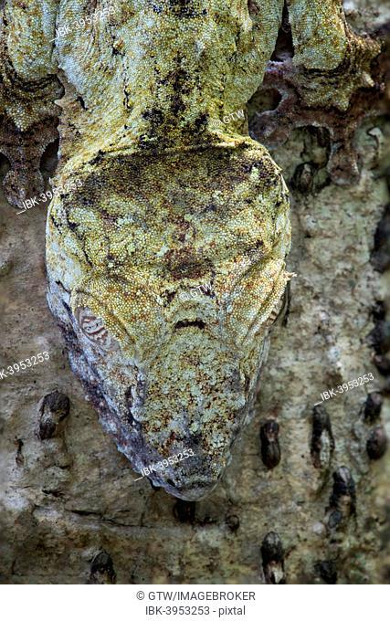 Leaf-tailed Gecko (Uroplatus fimbriatus), Madagascar