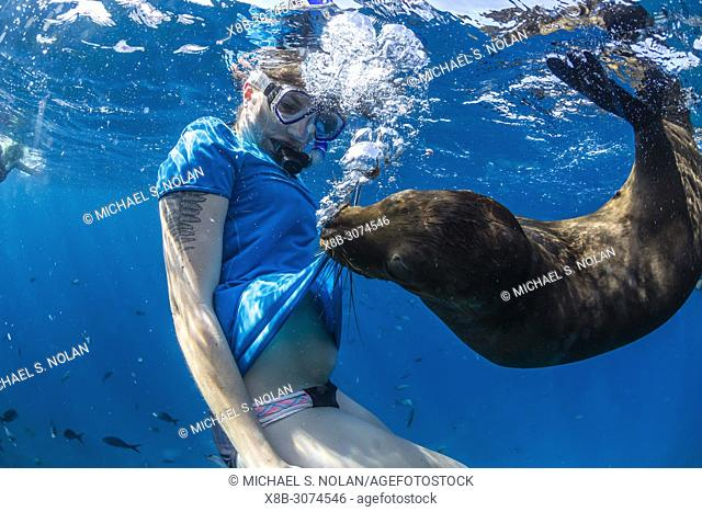 Playful California sea lion, Zalophus californianus, underwater with snorkeler at Los Islotes, BCS, Mexico