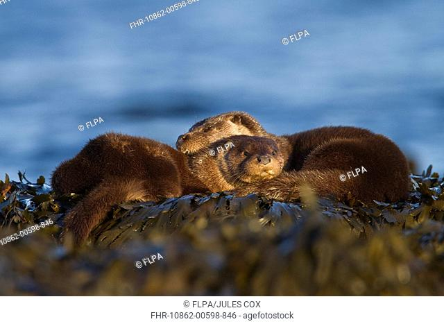 European Otter Lutra lutra adult female with cub, resting on seaweed, Isle of Mull, Inner Hebrides, Scotland, december