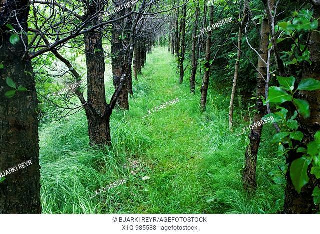 Aspen Trees Populus  Iceland