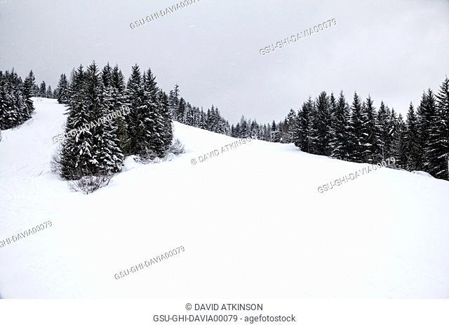Evergreen Trees Along Ski Trails