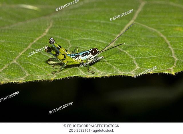 Grasshopper, Agumbe ARRSC, Karnataka , India