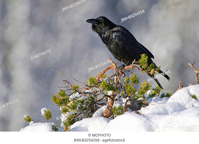 common raven Corvus corax, sitting on a snow covered bush, Norway