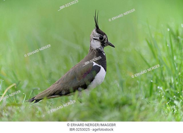 Lapwing, Northern Lapwing or Green Plover (Vanellus vanellus)