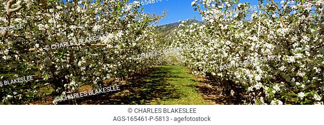 Agriculture - Apple orchard in full bloom in spring / WA - Chelan County, near. Peshastin