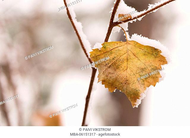 Snow covered frozen leaf