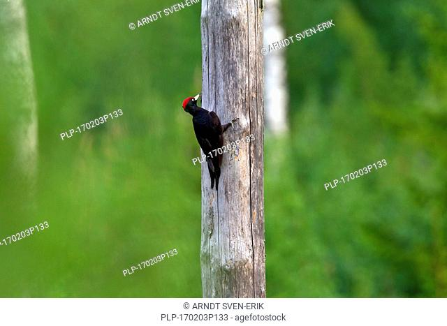 Black woodpecker (Dryocopus martius) male foraging along dead tree trunk in forest looking for grubs