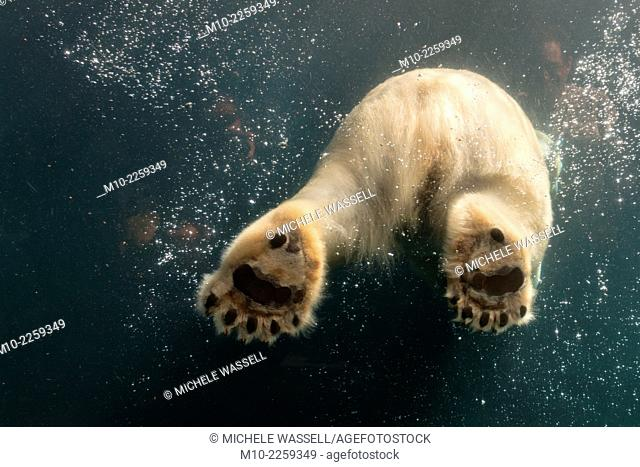 Paws of a Polar Bear as seen through glass while the bear is swimming in the water