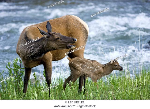 Rocky Mountain with calf Elk in Yellowstone National Park, calling