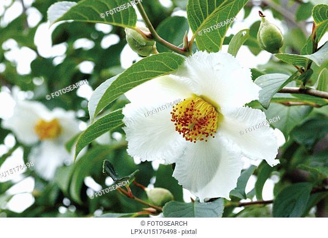 Camellia Stewartia pseudo camellia