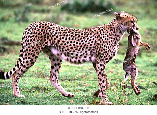 Cheetah with Cape Hare