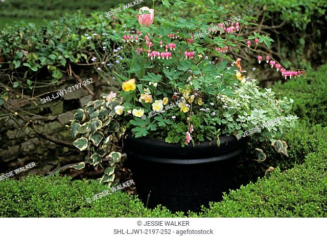 Gardens: Detail of large urn in formal garden. Has a mix of perrenials and annuals and ivy. Bleeding heart bush. Surrounded by hedges