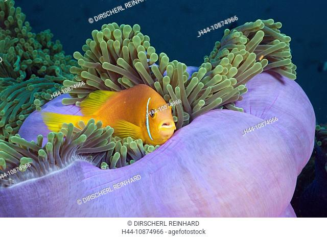 Malediven-Anemonenfisch in Prachtanemone, Amphiprion nigripes, Heteractis magnifica, Nord Ari Atoll, Malediven, Maldives Anemonefish in Magnificent Anemone