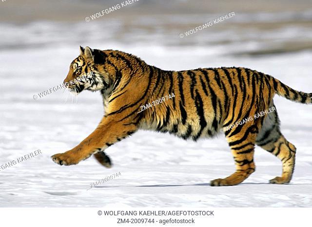 SIBERIAN TIGER ON SNOW, RUNNING