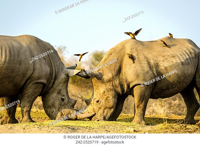White rhinoceros or square-lipped rhinoceros (Ceratotherium simum) fighting as Red-billed (Redbilled) Oxpeckers (Buphagus erythrorhynchus) land on them