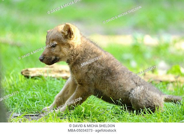 Eurasian wolf, Canis lupus lupus, young animal, side view