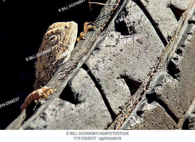 Ground agama (Agama aculeata) on abandoned tire - Omatendeka Conservancy - Damaraland, Namibia, Africa