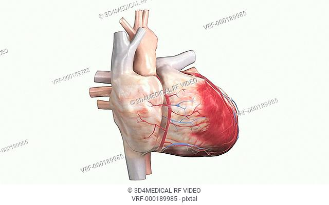An animation depicting the surface anatomy of the heart. The camera rotates about the heart