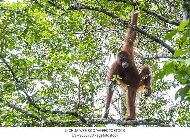 Orang utan, Semengok Wildlife Centre, Sarawak, Malaysia