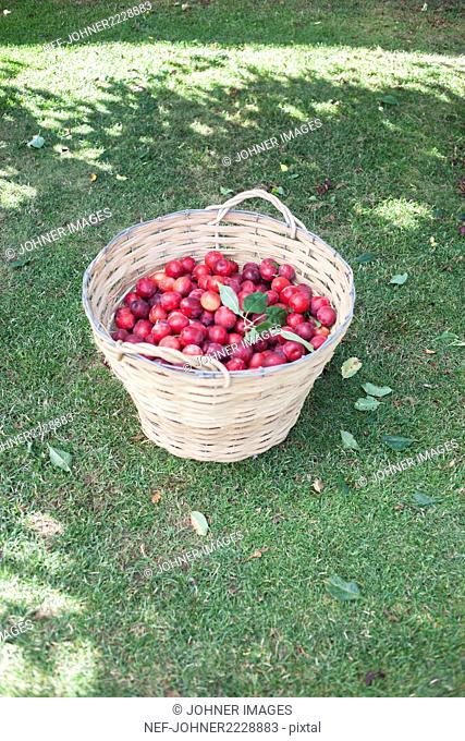 Basket full of plums on lawn