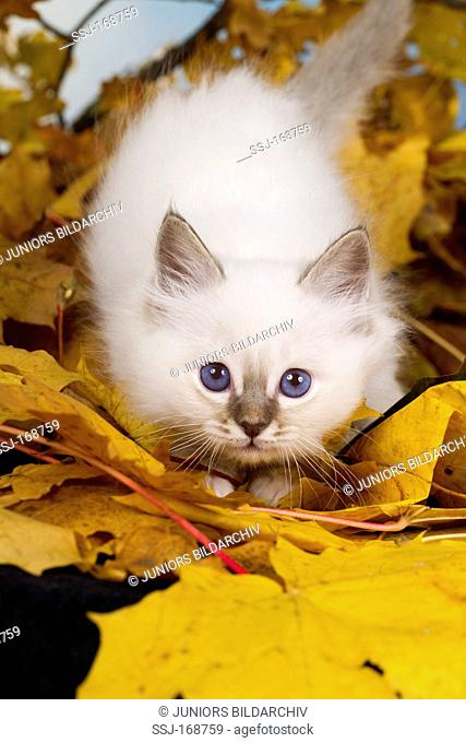 Sacred Birman. Kitten among fallen leaves in autumn