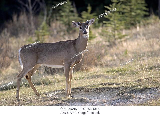 Weisswedelhirsch mit Bastgeweih im Fruehjahr - (Virginiahirsch) / White-tailed Deer stag with velvet-covered antler in early spring - (Virginia Deer -...