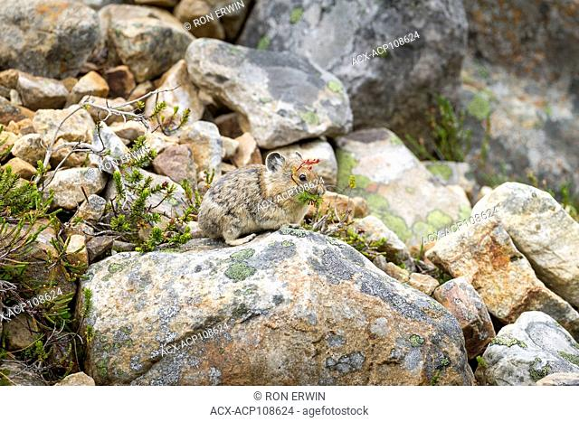 American Pika (Ochotona princeps) foraging in Jasper National Park, Alberta, Canada