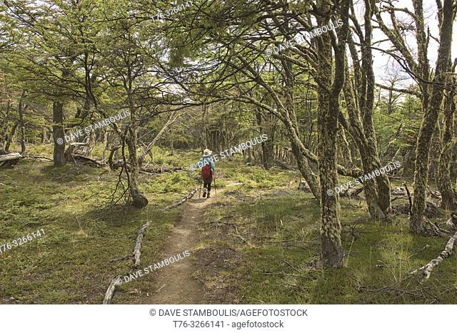 Trekking in a lenga (beech) forest, Patagonia National Park, Aysen, Patagonia, Chile