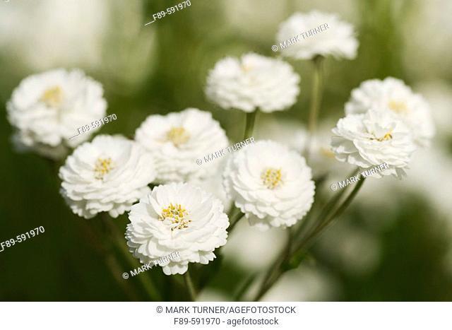 Sneezeweed (Achillea ptarmica). UW Medicinal Herb Garden, Seattle. Washington. USA