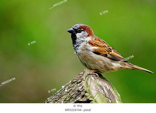 Close up of House sparrow, Kunming, Yunnan, China