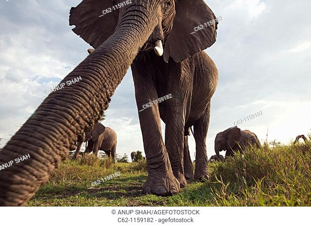 African elephant (Loxodonta africana) investigating with it's trunk -wide angle perspective-, Maasai Mara National Reserve, Kenya