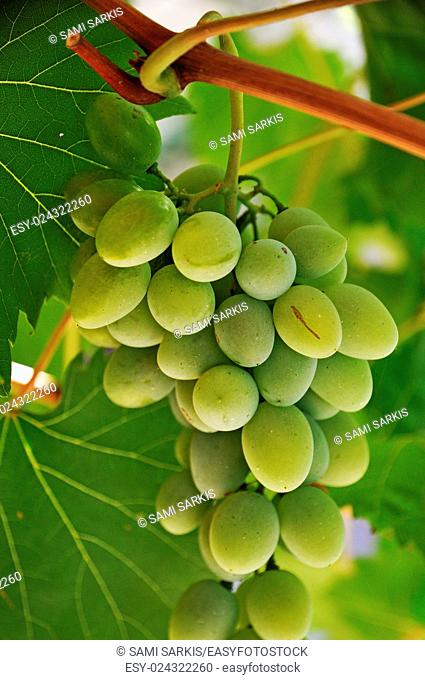 Green grapes and vine leaves, France, Europe
