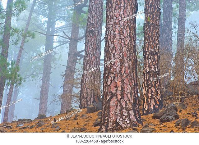 spain,canary islands, la palma : pine-tree and needles pine