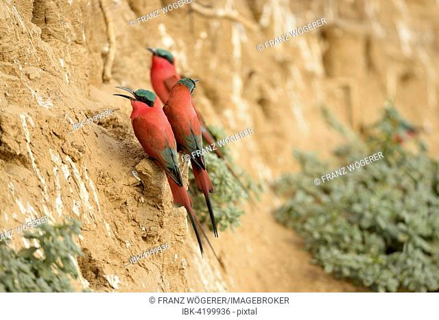 Southern Carmine Bee-eaters (Merops nubicoides), at the breeding wall, steep shore on the Luangwa river, South Luangwa National Park, Zambia