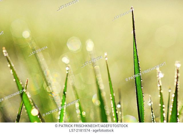 Gras covered in dew drops, Switzerland