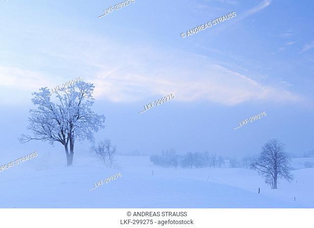 Snow covered trees in fogbank, Upper Bavaria, Bavaria, Germany