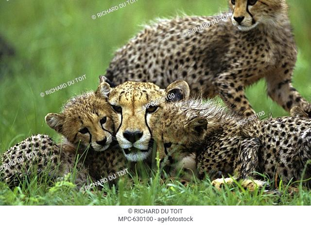 Cheetah Acinonyx jubatus, adult female laying in the grass with her three month old cubs, summer, Phinda Game Reserve, South Africa