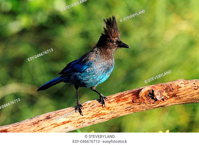 Stellers Jay (Cyanocitta stelleri) on a perch with a green background